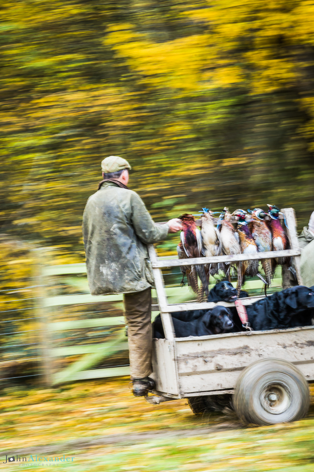 action shot of beater on the back of a trailer with gun dogs and pheasants