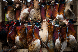shot pheasants hanging on trailer