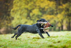 black labrador gun dog running with cock pheasant through field