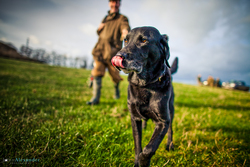 black labrador gun dog  with gun in the background