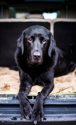 black labrador gun dog in the back of a car