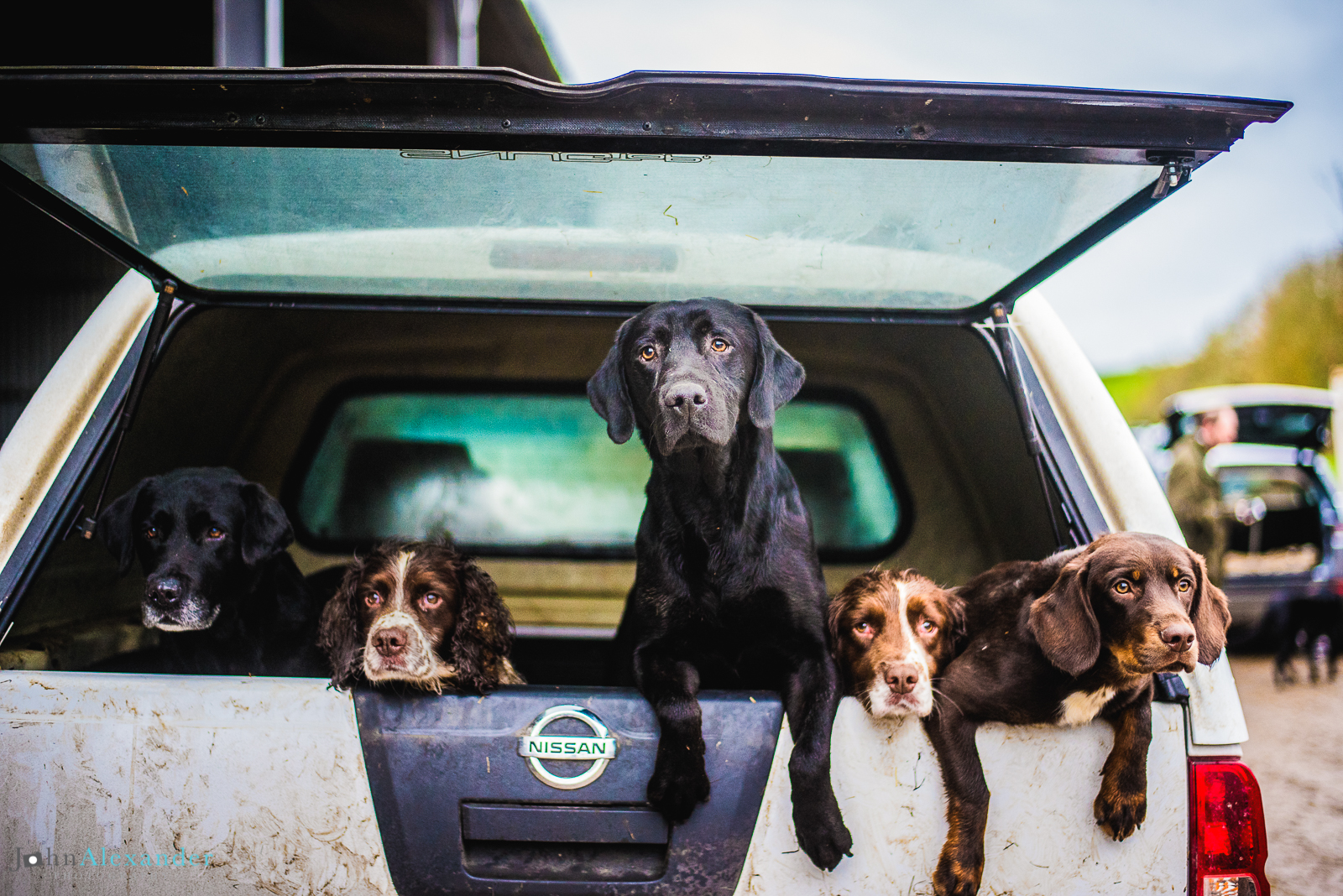 gun dogs in the back of a pick up on a shoot
