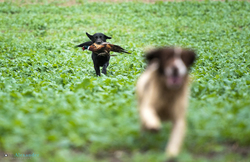 spaniel and black labrador gun dogs retrieving cock pheasants