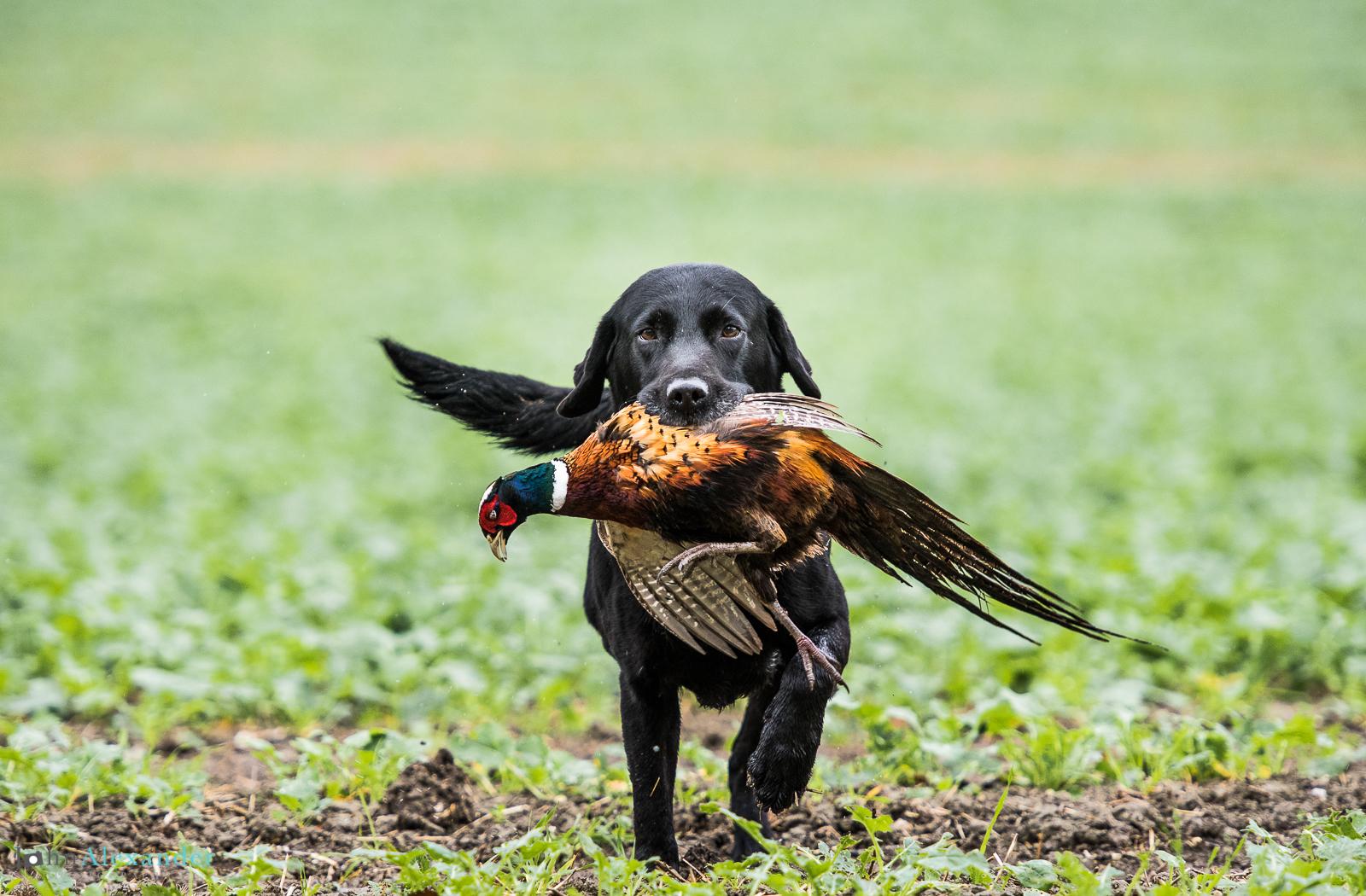 black labrador gun dog retrieving cock pheasant
