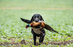 black labrador gun dog retrieving cock pheasant