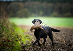 black labrador gun dog retrieving pheasant
