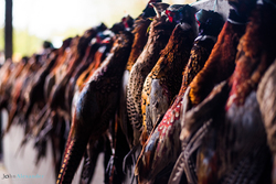 cock pheasants hanging up after shoot