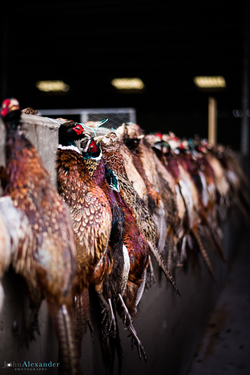 vertical image of pheasant shot pheasants hanging up