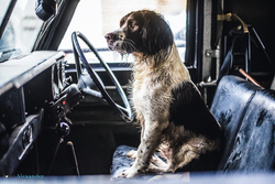 Springer Spaniel gun dog in front seat of Land rover