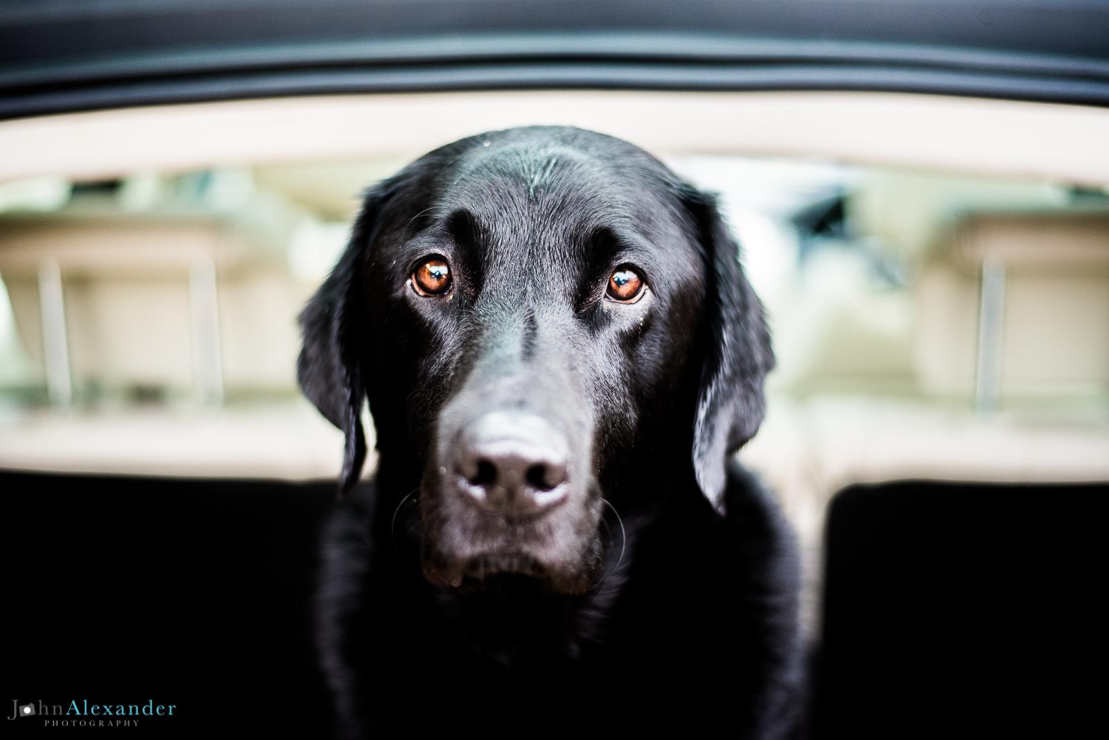 portrait of black labrador gun dog in back of car