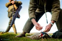 Beaters tying up brace of pheasants with gun walking past
