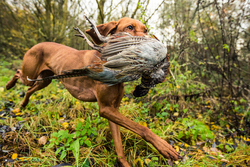 Viszla HPR Gun Dog pointer retrieving pheasant