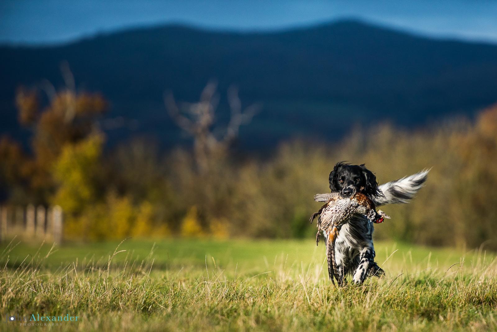 Black and White Pointer retrieving a cock pheasant