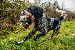 pointer retrieving pheasant on HPR shoot
