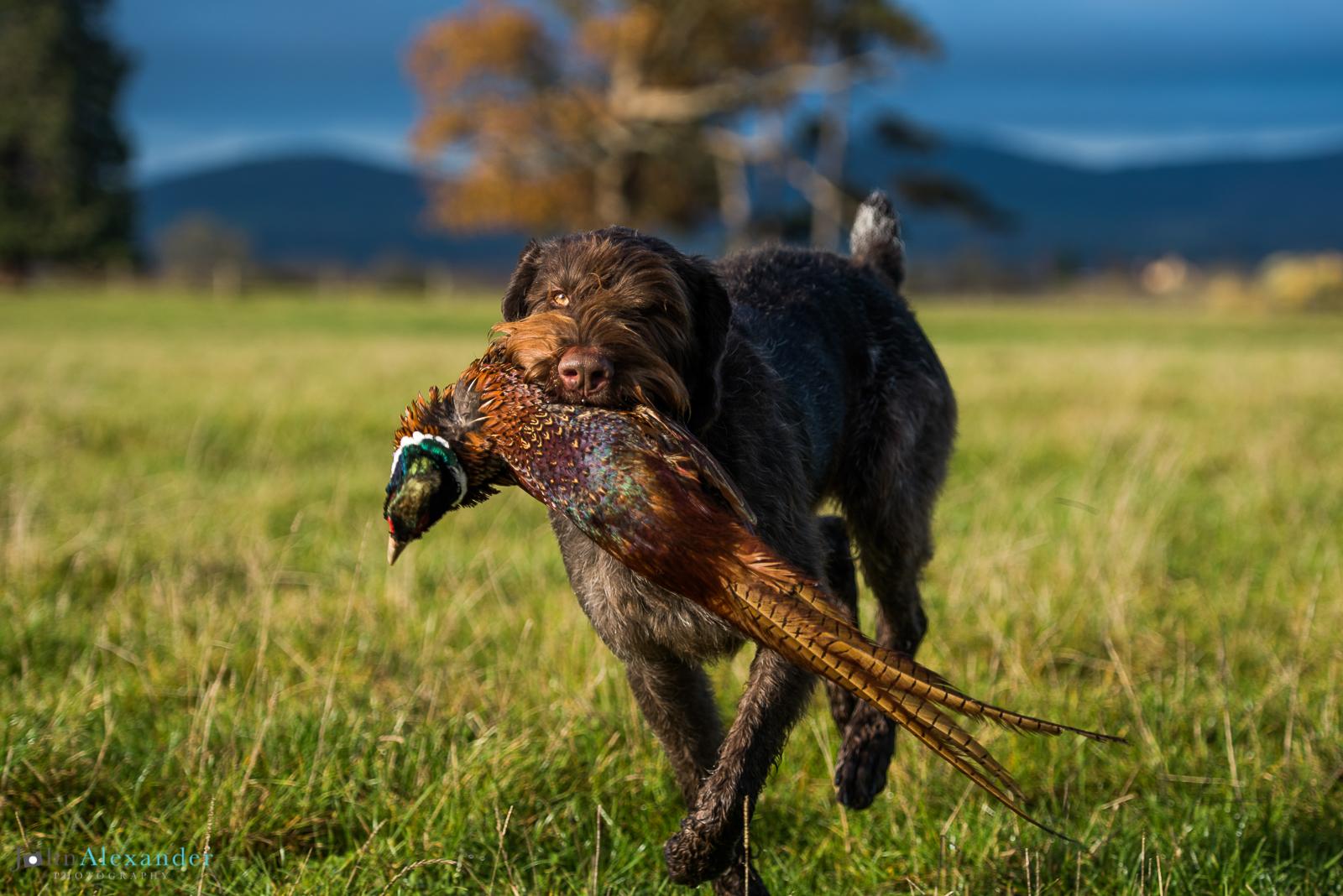 Hungarian Pointer retrieving pheasant on HPR shoot