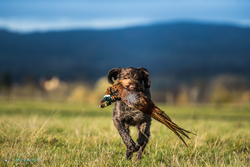 Pointer retrieving cock pheasant on HPR shoot in UK