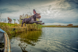 pointer jumping in lake to retrieve pheasant on HPR shoot