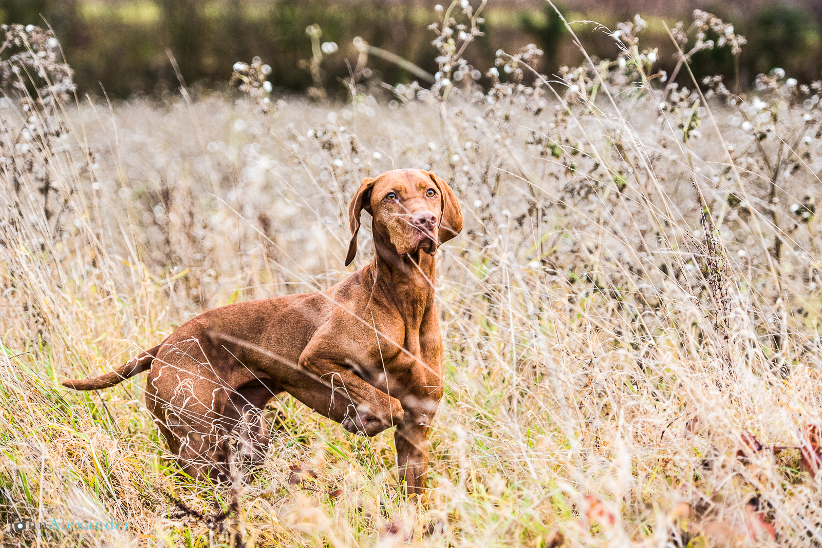 Vizsla pointing on HPR shoot in tall grass