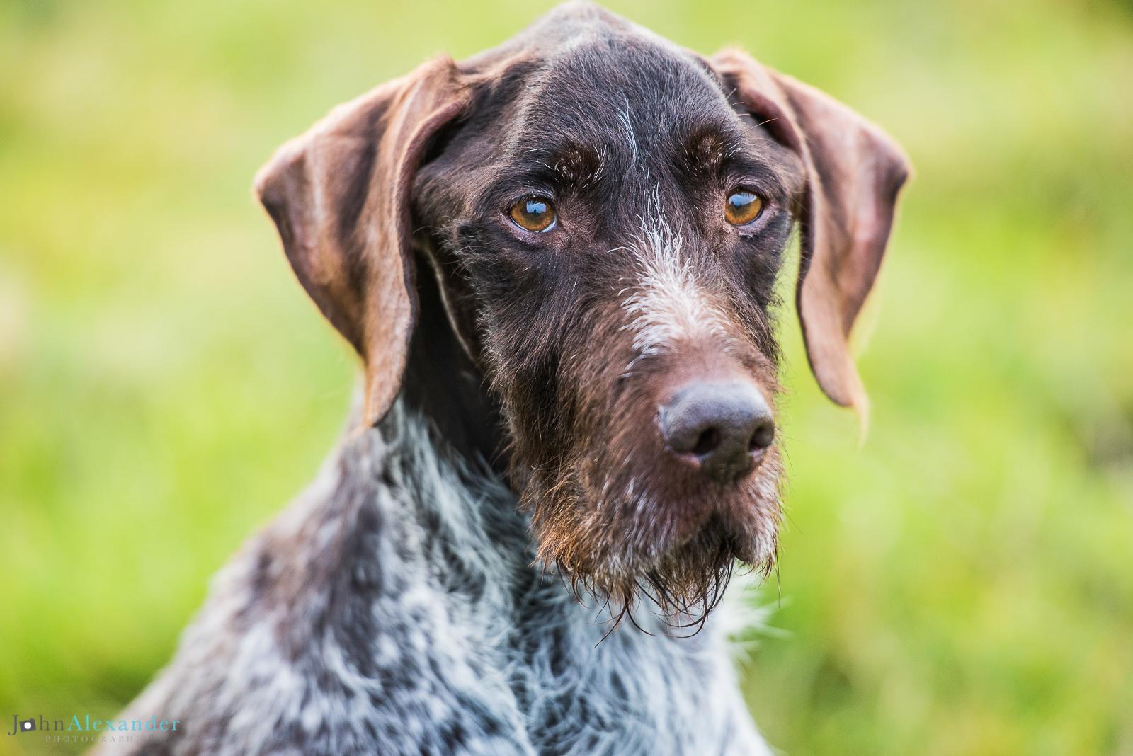German short-haired pointer HPR Pointer gun dog