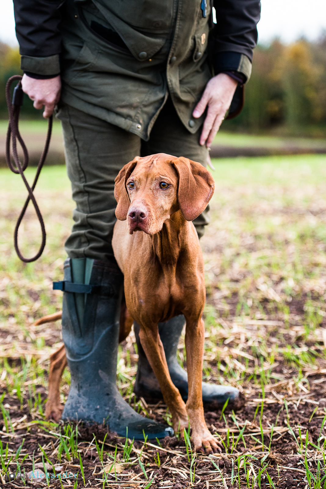 Vizsla under legs of owner HPR Gun Dog