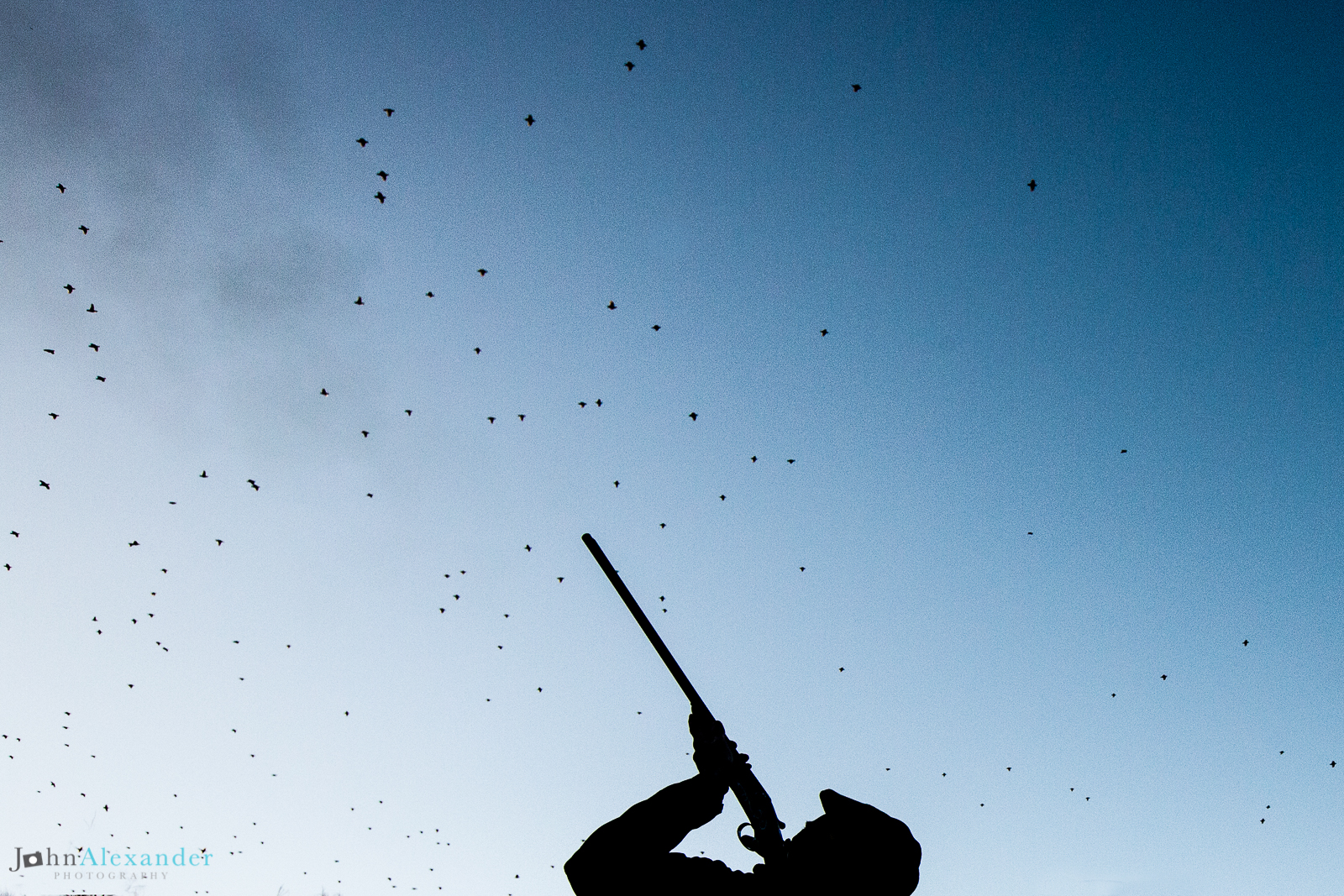 silhouette of gun shooting flush of high pheasants in UK