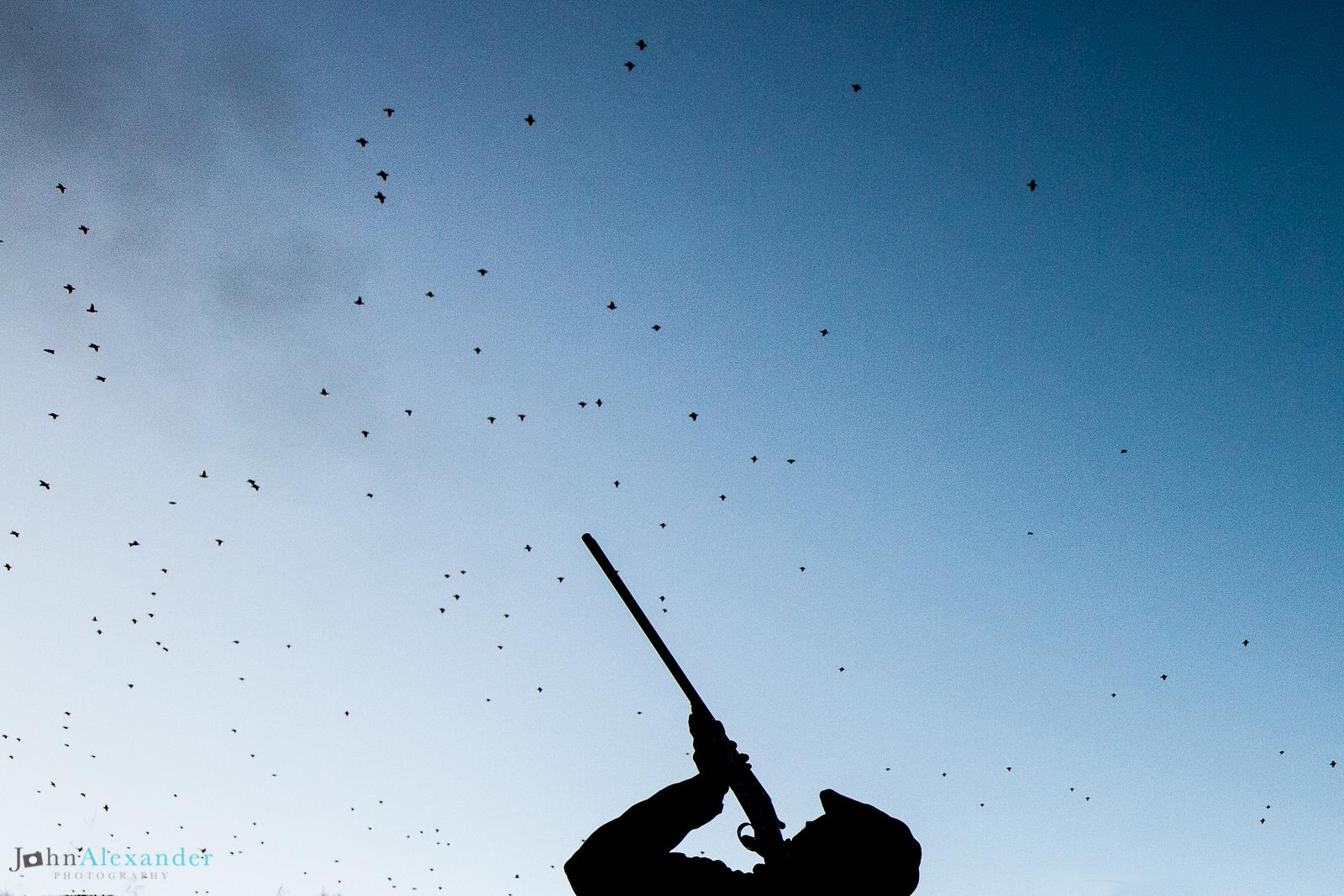 silhouette of gun shooting flush of high pheasants in UK