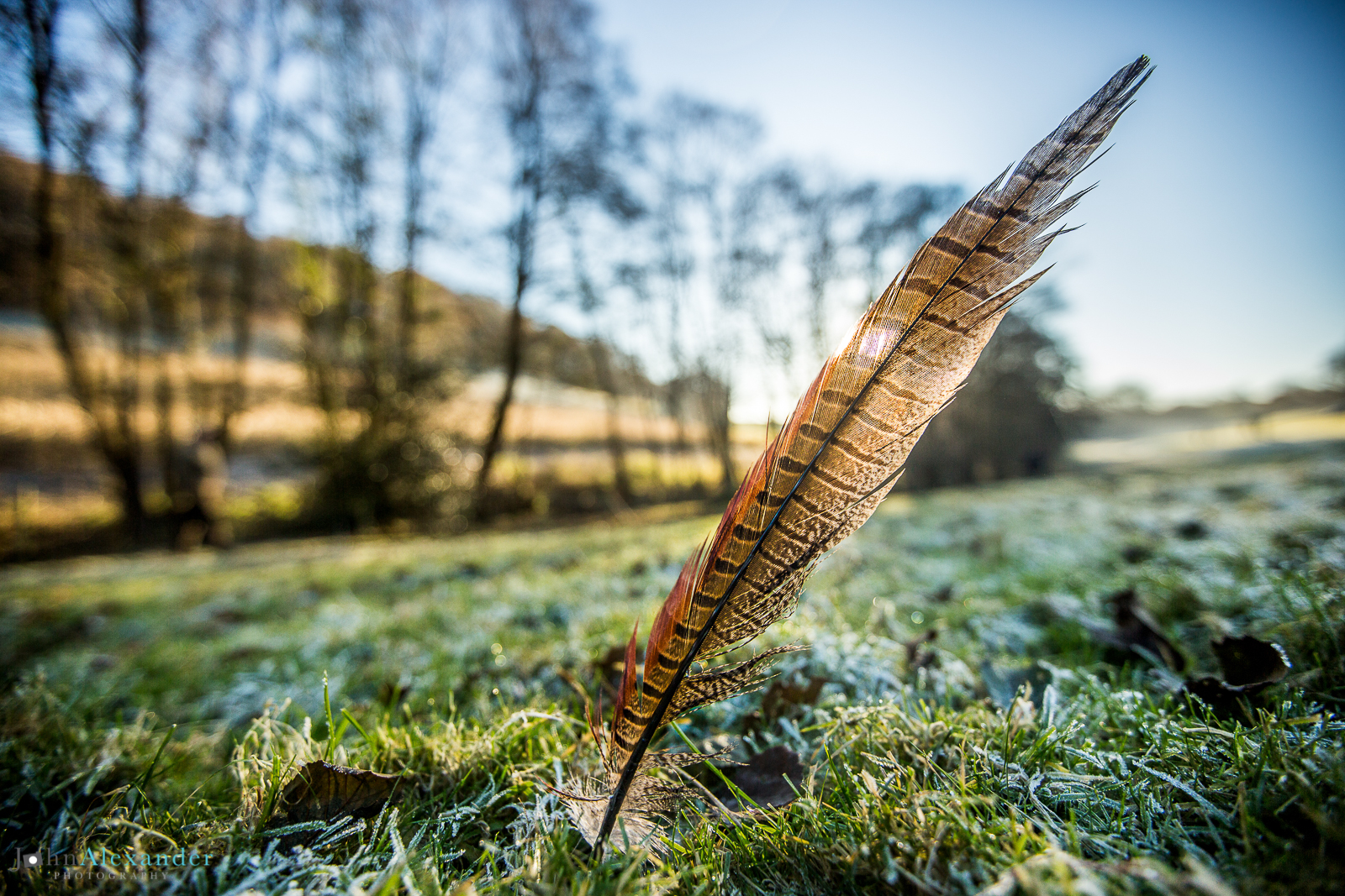 cock pheasant feather stuck in grass on game shoot in Wales