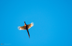 cock pheasant flying from below with blue sky