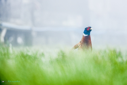 cock pheasant in grass next to pens