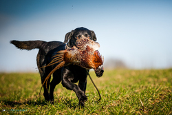 black labrador retrieving male pheasant in the sun with space to the right for text on a game shoot in the UK