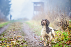 Springer Spaniel gun dog on a shoot