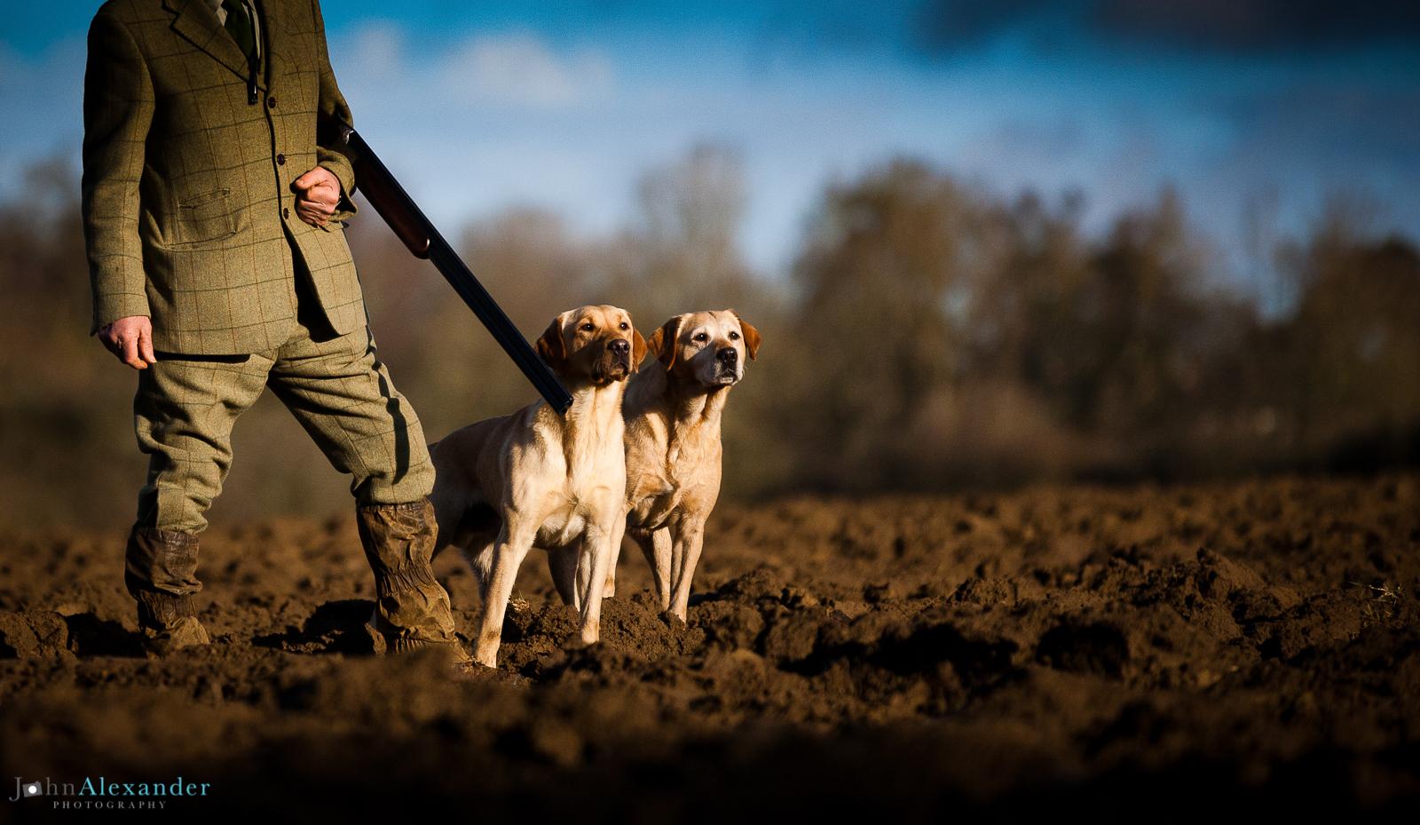 Two labrador gun dogs on peg with gun and shotgun