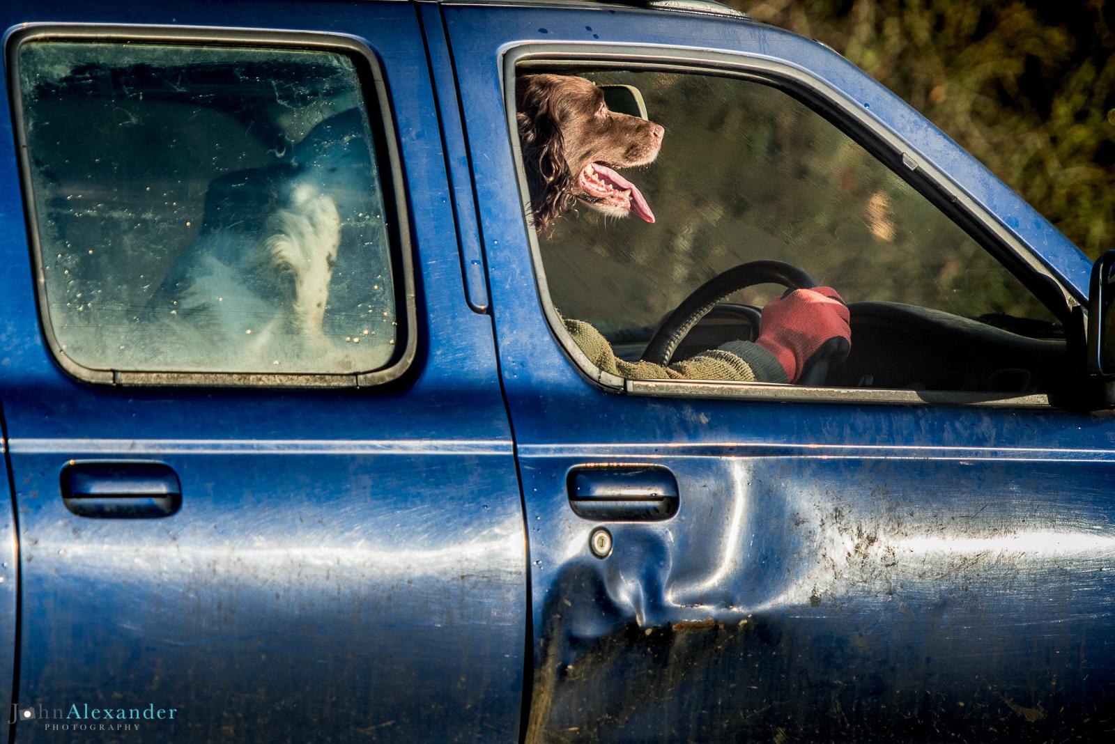 Springer Spaniel Gun Dog driving car