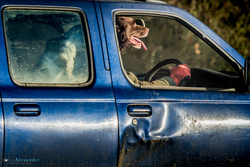 Springer Spaniel Gun Dog driving car