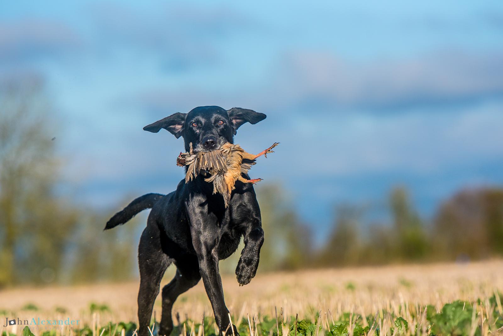 black labrador gun dog retrieving pheasant in cut field