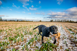 wide angle of black labrador gun dog retrieving bird