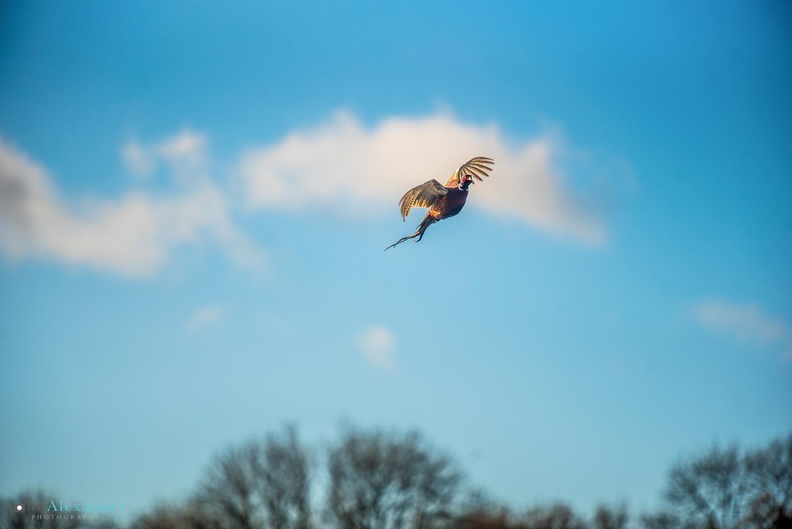 pheasant flying in blue sky