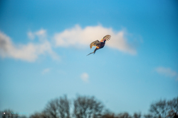 pheasant flying in blue sky