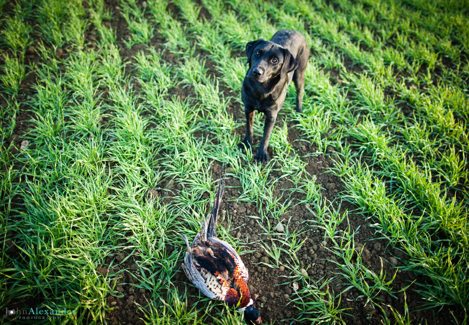 black labrador gun dog presenting cock pheasant bird to owner in field