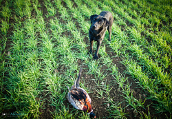 black labrador gun dog presenting cock pheasant bird to owner in field