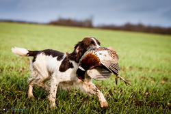 Springer Spaniel retrieving cock pheasant on shoot in UK