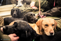 gun dogs in a shoot bus on pheasant shoot in uk