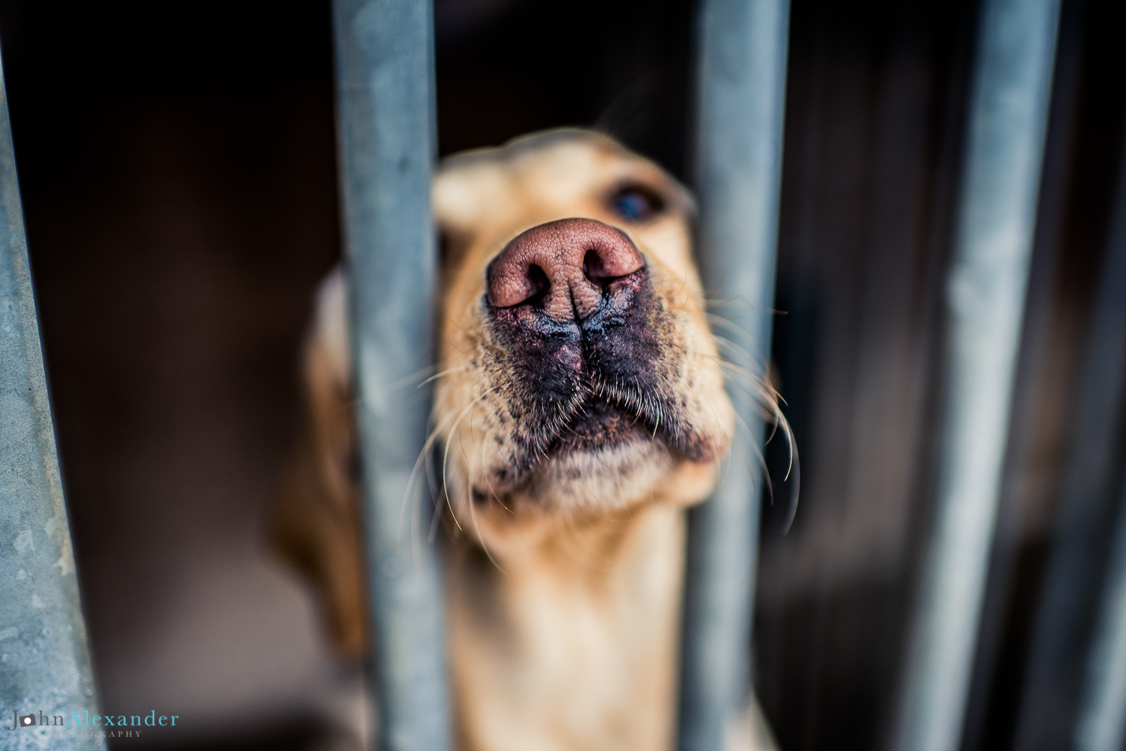 gun dog in cage waiting for shoot to start