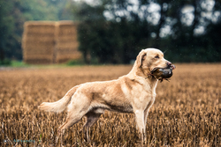 golden retriever gun dog with partridge in mouth