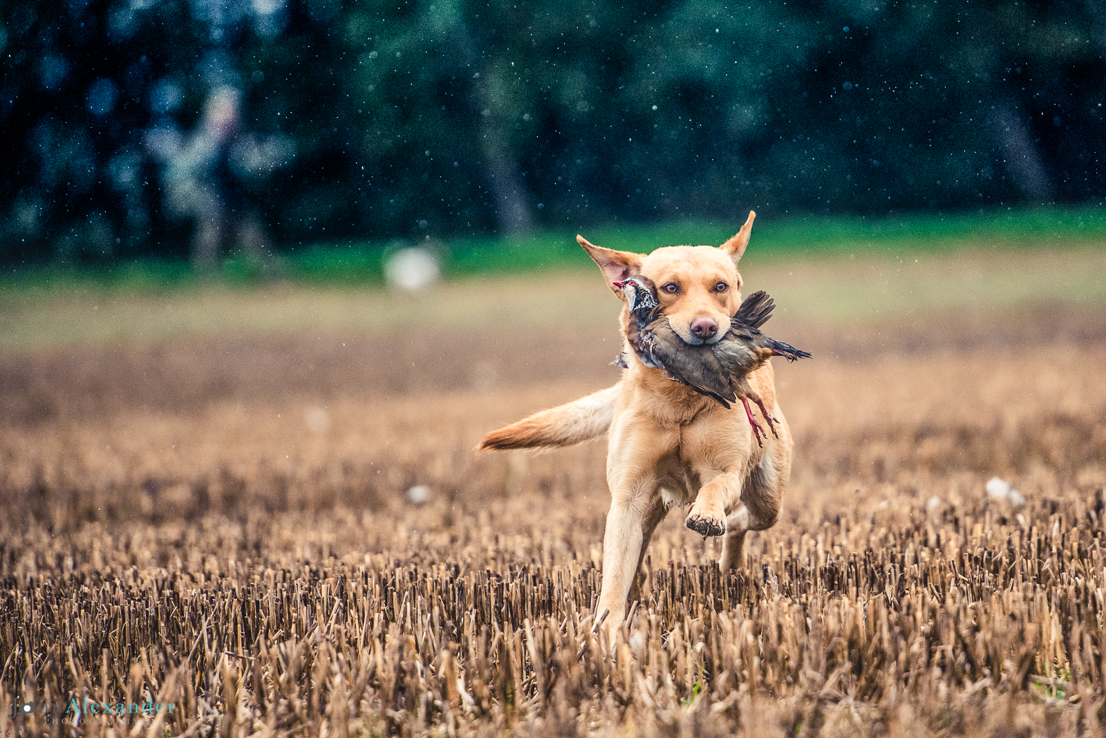 golden labrador retrieving partridge in the rain