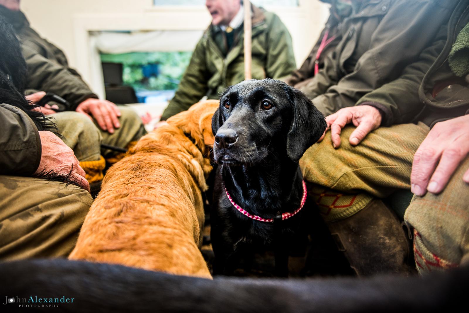 black labrador gun dog on shoot bus in uk
