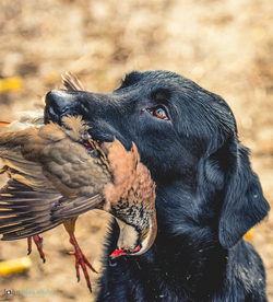 black labrador presenting a partridge to owner