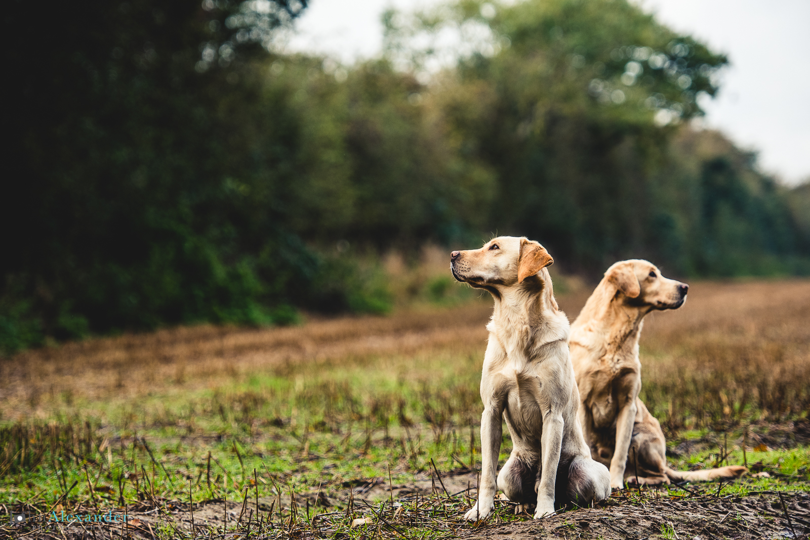 golden labrador gun dogs waiting by their peg on shoot in UK