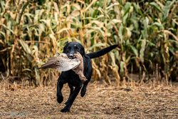 black labrador gun dog picking up pheasant on driven shoot in uk