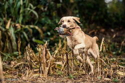 golden labrador picking up cock pheasant on shoot in uk